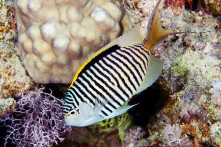 lyretail: Zebra angelfish  Genicanthus caudovittatus  in the Red Sea, Egypt  Stock Photo