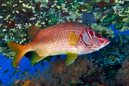 sabre: Sabre squirrelfish (Sargocentron spiniferum) in the Red Sea, Egypt. Stock Photo