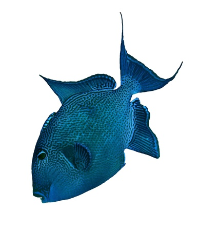 triggerfish: Blue triggerfish  Pseudobalistes fuscus  isolated on white background