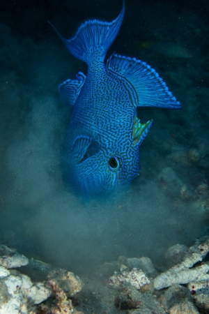 triggerfish: Blue triggerfish  Pseudobalistes fuscus  in the Red Sea, Egypt