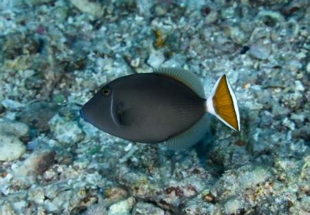 triggerfish: Bluethroat triggerfish  Sufflamen albicaudatus  in the Red Sea, Egypt  Stock Photo