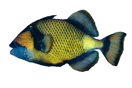 triggerfish: Titan triggerfish  Balistoides viridescens  isolated on white background