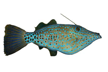 tropical fish isolated: Scrawled filefish  Aluterus scriptus  isolated on white background  Stock Photo