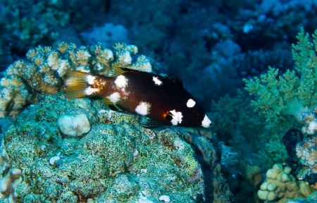 labridae: Axilspot hogfish, juvenile,  Bodianus axillaris  in the Red Sea, Egypt  Stock Photo