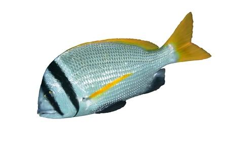 tropical fish isolated: Doublebar bream  Acanthopagrus bifasciatus  isolated on white background