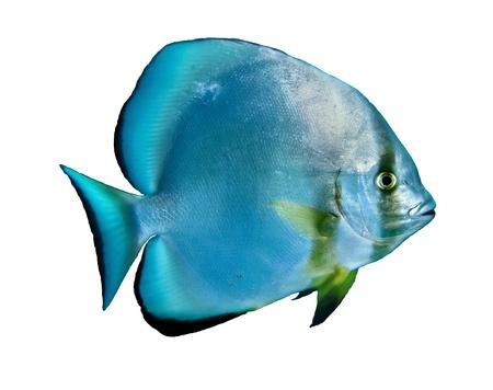 tropical fish isolated: Orbicular batfish  Platax orbicularis  isolated on white background  Stock Photo