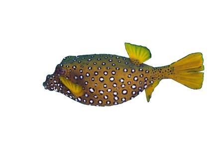 boxfish: Yellow boxfish (Ostracion cubicus), female, isolated on white background.