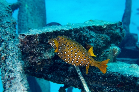 boxfish: Yellow boxfish (Ostracion cubicus), female, in the Red Sea, Egypt.