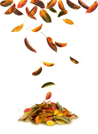 Apricot autumn leaves falling to the ground, white background  photo