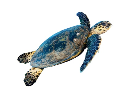 Hawksbill sea turtle (Eretmochelys imbricata), isolated on white background.