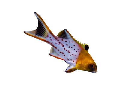 tropical fish isolated: Lyretail hogfish (Bodianus anthioides), juvenile,  isolated on white background.