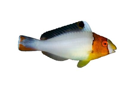 Bicolour parrotfish (Cetoscarus bicolor), juvenile,  isolated on white background.