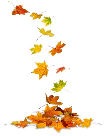 Maple autumn leaves falling to the ground, white background.