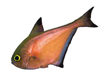 tropical fish isolated: Dusky sweeper (Pempheris adusta), isolated on white background.