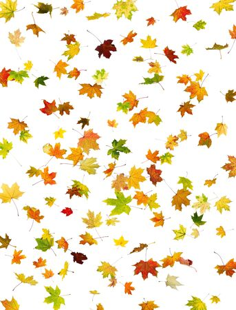 falling leaves: Background of falling maple autumn leaves on white.