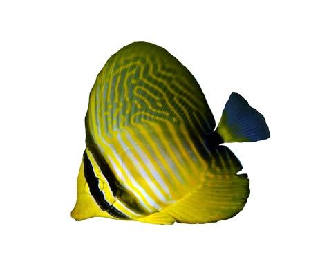 Desjardin's sailfin tang (Zebrasoma desjardinii), juvenile, isolated on white background. Stock Photo - 21176250