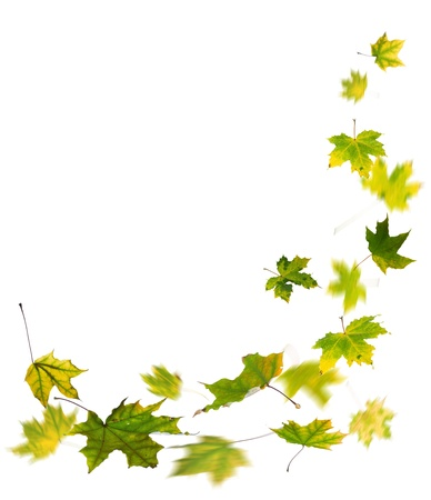 falling leaves: Maple green autumn falling leaves, isolated on white background. Stock Photo