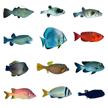 boxfish: Tropical fish collection on white background. Stock Photo