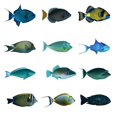 triggerfish: Tropical fish collection on white background. Stock Photo