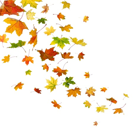 Maple autumn falling leaves, isolated on white background. Stock Photo