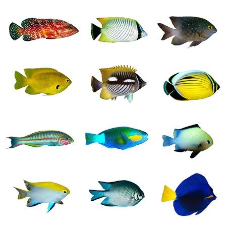pez pecera: Colecci?e peces tropicales sobre fondo blanco.