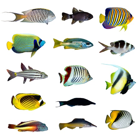 Tropical fish collection on white background. Stock Photo