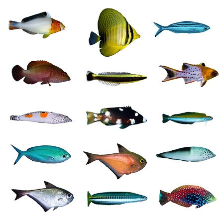 fish isolated: Tropical fish collection on white background. Stock Photo