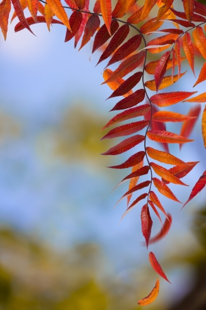 Autumn branches and falling leaves, on natural background. photo