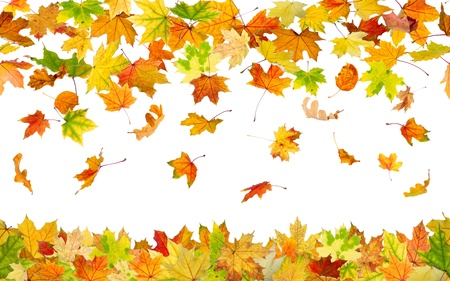 Seamless pattern of falling autumn leaves, on white background. Фото со стока