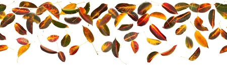 Seamless panoramic apricot autumn leaves falling, white background. photo