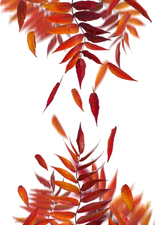 Autumn branches and falling leaves on white background. photo