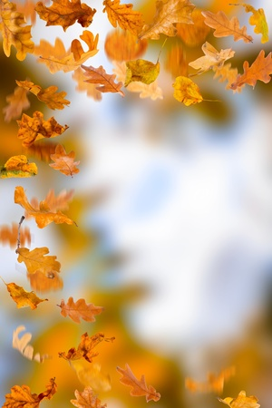 Oak autumn falling leaves, isolated on natural background. photo