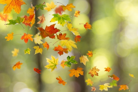 falling leaves: Maple colored autumn falling leaves in the forest. Stock Photo