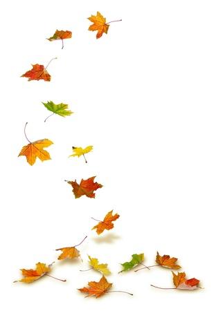 메이플 가을, 흰색 배경에 바닥으로 떨어지는 나뭇잎. 스톡 콘텐츠