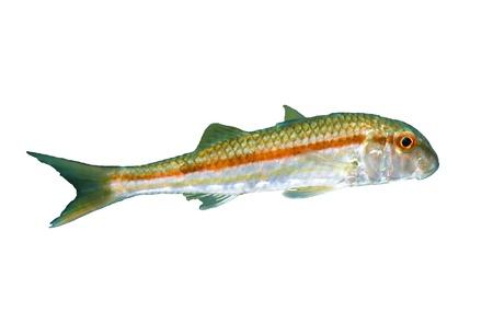 goatfish: Goatfish  Mullus barbatusponticus  isolated on white background