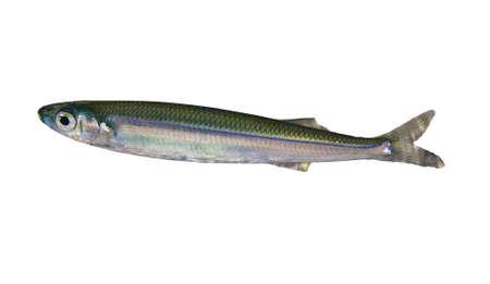 sprat: Sprat Fish  Clupeonella delicatula  underwater isolated on white background