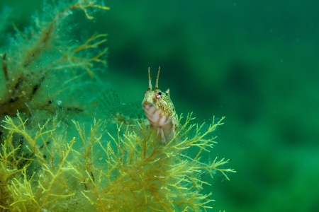 blenny: Sphinx blenny fish  Blennius sphinx  in the Black Sea