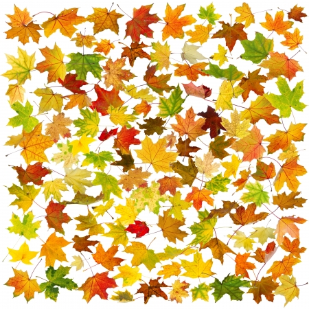 Falling autumn maple leaves, on white background.