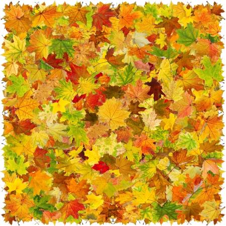 Background of falling maple autumn leaves. photo