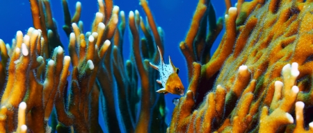 lyretail: Lyretail hogfish  Bodianus anthioides , juvenile and fire coral, in the Red Sea, Egypt