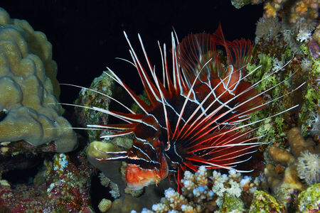 pterois: Lionfish  Pterois radiata  at night in the Red Sea, Egypt  Stock Photo