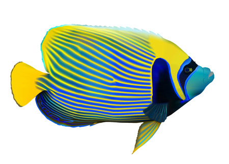 Emperor angelfish (Pomacanthus imperator) on white, vector illustration. Vector