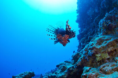 dangerous reef: Lionfish (Pterois radiata) on coral reef in the Red Sea, Egypt.