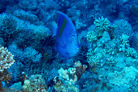 Yellowbar Angelfish (Pomacanthus maculosus) on the background corals in the Red Sea, Egypt. photo