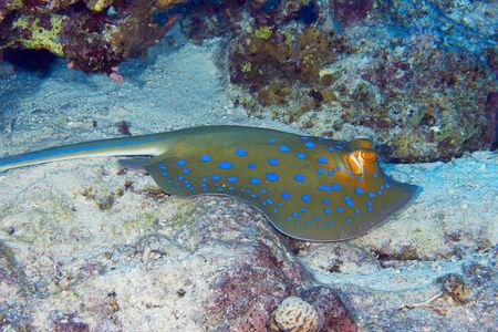 taeniura: Bluespotted ribbontail ray (Taeniura lymma) clouse vista, nel Mar Rosso, Egitto.
