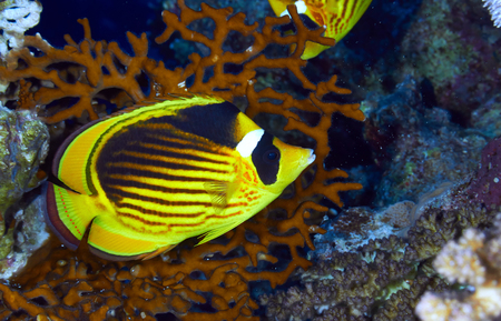chaetodontidae: Diagonal-lined butterflyfish (Chaetodon fasciatus) in the Red Sea, Egypt.