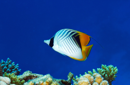chaetodontidae: Threadfin butterflyfish (Chaetodon auriga) in the Red Sea, Egypt.