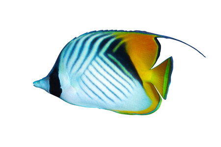 chaetodontidae: Threadfin butterflyfish (Chaetodon auriga) isolated on white background.