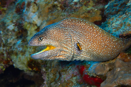 moray: Yellow-mouthed moray eel (Gymnothorax nudivomer) in the Red Sea, Egypt. Stock Photo