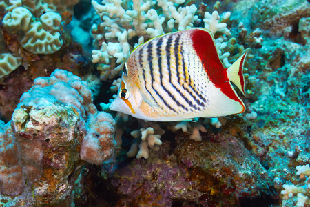 chaetodontidae: Eritrean butterflyfish (Chaetodon paucifasciatus) in the Red Sea, Egypt.
